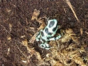 romeo-dart-frog-photo